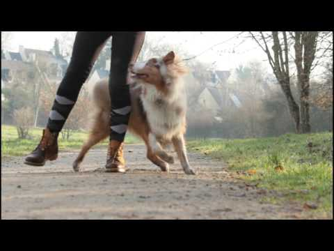 Australian shepherd, Liloo, tricks