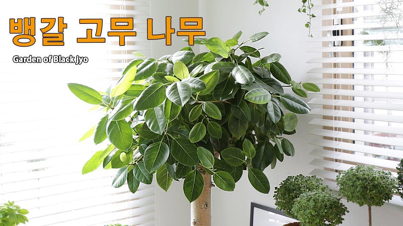 뱅갈 고무나무 키우기 / 잎 말림 / 쭈글거림 / 가지치기