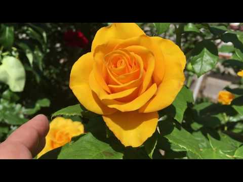 "Желтая чайно-гибридная роза ""Керио""!"