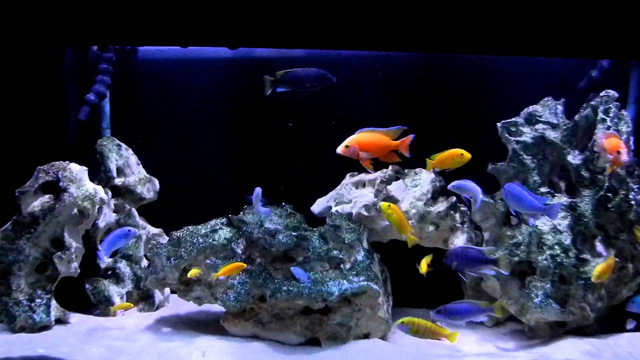 Cichlid Tank 9-11 Full - YouTube