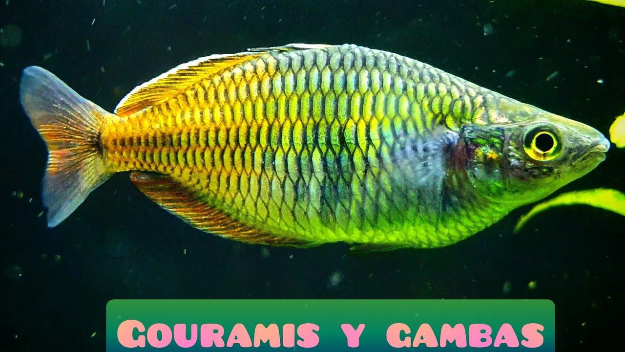 GOURAMIS, GAMBAS Y ALGAS / VIDEORESPUESTA
