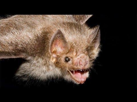 Por qué los Murciélagos Pueden Ver en Total Oscuridad? - YouTube