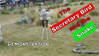 See the Secretary Bird attack the python - demonstration