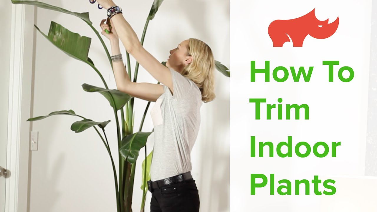 How To Trim Indoor Plants Cutting Back House Plants on cutting back tomato plants, pinching back house plants, cutting back spring flowers, cutting back iris plants, cutting back bushes, trimming back house plants, cutting back geraniums, cutting back angel wing begonia, cutting back ornamental grasses,