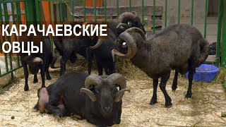 Овцы Карачаевской породы. Выставка Золотая Осень-2017