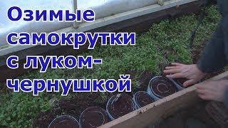 Подзимний посев лука-чернушки в самокрутки для теплицы