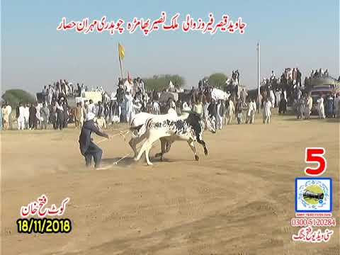 Bul Race In Pakistan Sunny Video Fateh Jang 18 11 2018 NO5