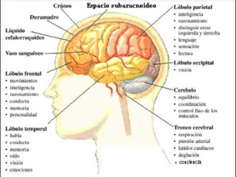 Las partes del cerebro y sus funciones youtube Areas de la cocina y sus funciones