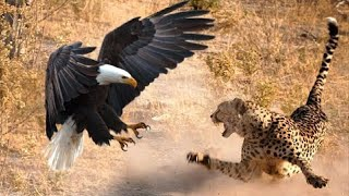 The Most Amazing Eagle Attacks Ever Caught on Camera