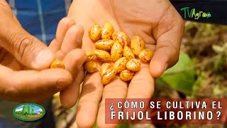 Cómo se cultiva el frijol liborino  TvAgro por Juan Gonzalo Angel Restrepo