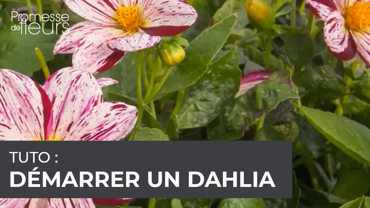 comment planter bulbes dahlia