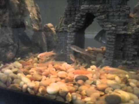 20 gallong bluegill fish tank youtube for Bluegill fish tank