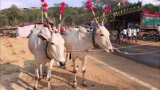 Hallikar oxen for 70k at mudukuthore cattle fair