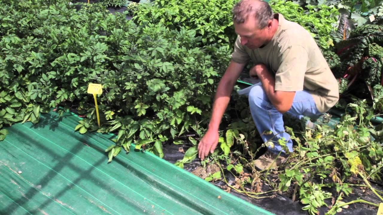 Fondazione minoprio quando raccogliere le patate youtube for Quando si seminano le patate
