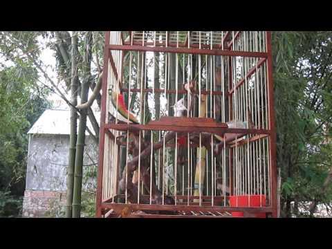 Chao mao bach ( Thông Nông- Cao Bằng)