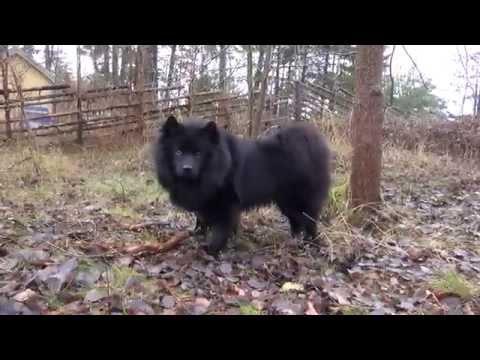 Race med Svenska Lapphunden Vilde