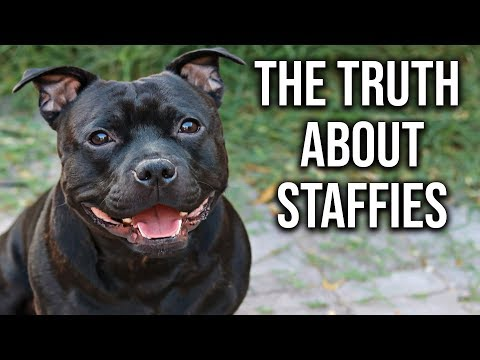 What you Need to Know about English Staffies