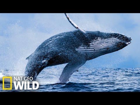 Baleine qui mange - Wild Alaska