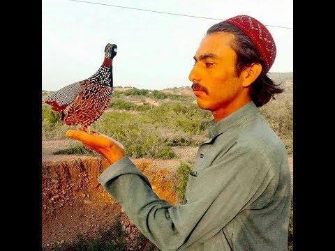 ColorFul Teetar Birds & Kala Teetar Ki Awaz