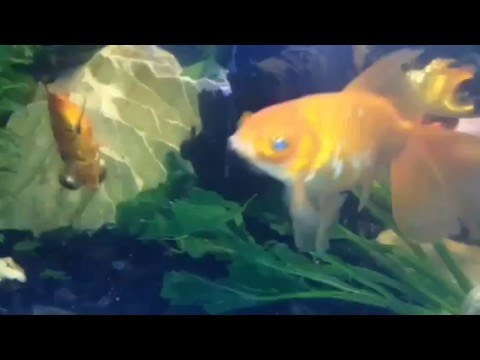Alimenta a tus goldfish con espinacas youtube for Alimento para goldfish
