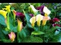 Flores Mini Callas y Girasoles - TvAgro por Juan Gonzalo Angel