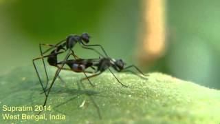 Micropezid fly (stilt legged fly) mating