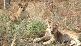 Челябинская львица Лола и Марсельвята. Львы. Тайган.  Lioness Lola and cubs. Lions Taigan.