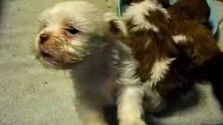 Shih Tzu Mixed Breed Puppy