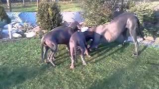 Vrh B - 12.11.2011 - I. Deutsche Doggen Welpen Zu Verkaufen! Great Dane Puppies For Sale!
