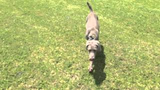 "5mo Weimaraner ""saige"" Enjoying Off-leash Freedom! Orlando Obedience Training!"
