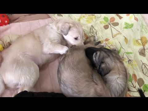 Borzoi puppy Day 28-1