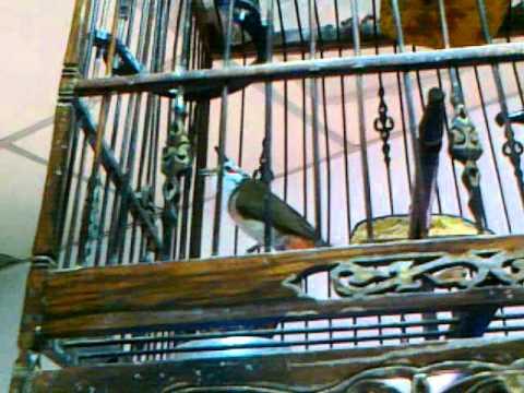 เจ้าดาโต๊ะ นกกรงหัวจุก  1