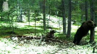 ID1053/Лапландский заповедник/Хищники/Что творит эта медведица. Бис!!!