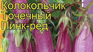 Колокольчик точечный Пинк-ред. Краткий обзор, описание характеристик, где купить семена