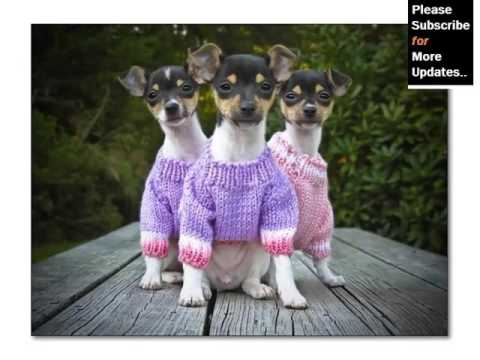 Collection Of Cute Pictures Of Dog Terrier Type | Rat Terrier