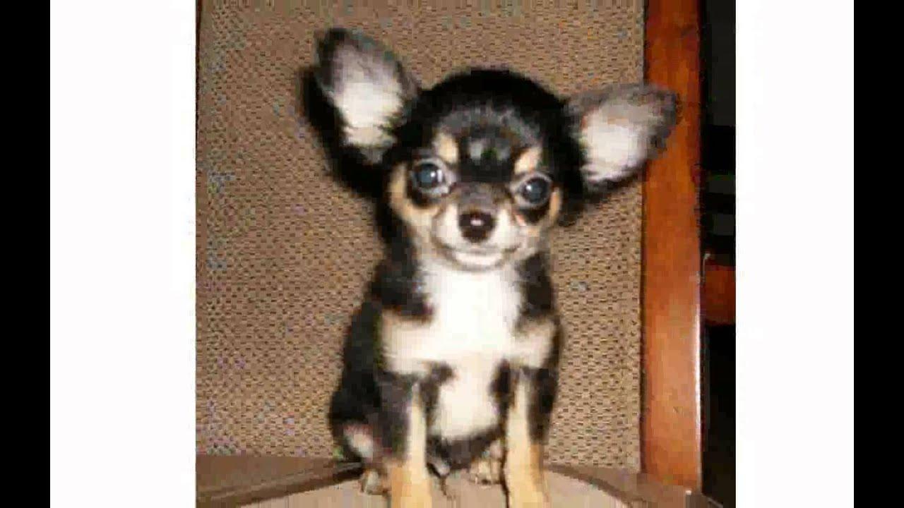 Long Hair Teacup Chihuahua
