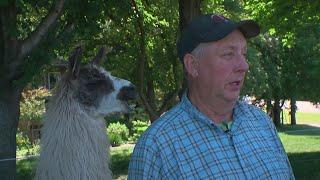 Waconia Farmer's Llamas Become Global Sensation