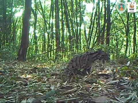 เสือลายเมฆจากกล้องดักถ่ายอัตโนมัติ ณ ผืนป่าแม่วงก์-คลองลาน