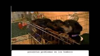 Rottweiler - Abc Canino
