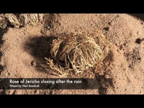 Life cycle, Rose of Jericho resurrection plant time lapse