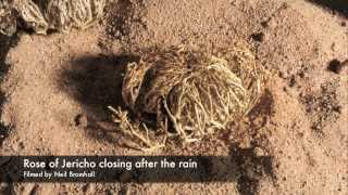 Life cycle, Rose of Jericho resurrection plant time lapse