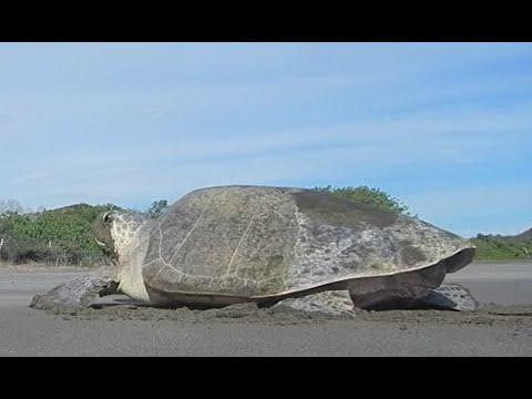 Sea Turtle Nesting Process