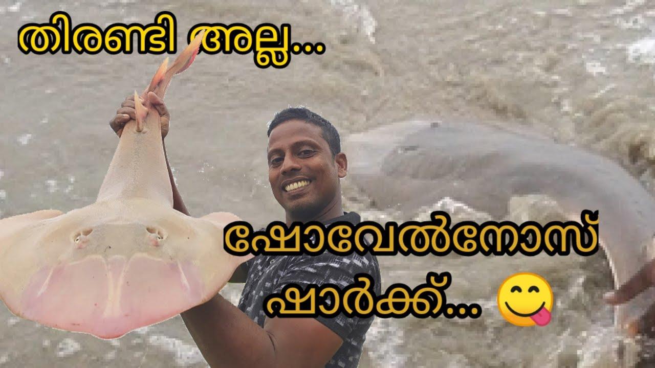 ഇത് തിരണ്ടി അല്ല.... ഷോവൽ നോസ് ഷാർക്.. / This is not a stingray. It's a shovelnose shark's