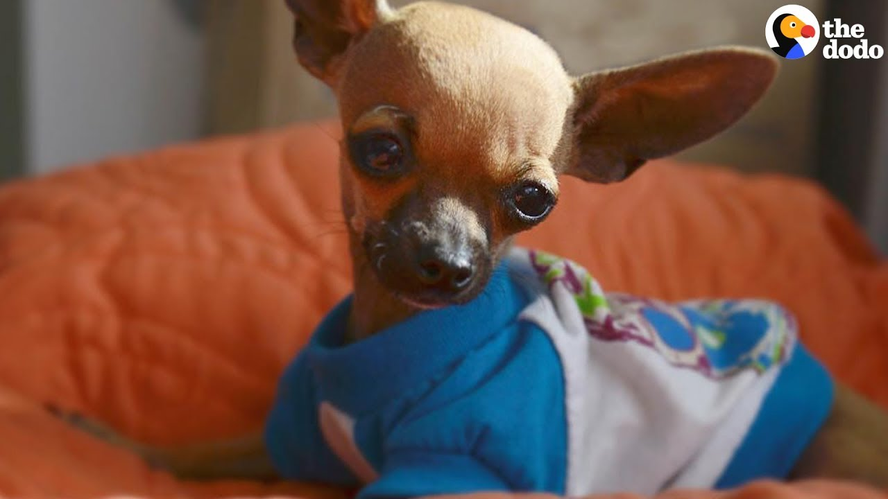 grumpy chihuahua loves his wobbly little brother the dodo youtube