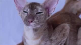 Идеальные зеленые глаза ориенальной кошки