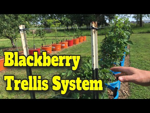 💲CHEAP EASY TRELLIS FOR BLACKBERRIES AND RASPBERRIES 🍇GIVE YOUR BERRIES A LIFT! 💪You Can DO THIS✔️👍