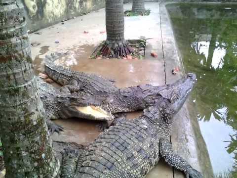 Cá sấu, giống như thật không các bạn?