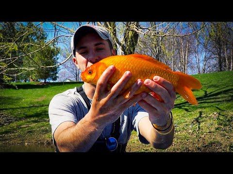 Catching GIANT Goldfish In Sewage Pond!