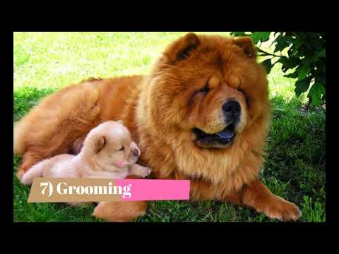Facts about chow chow dogs