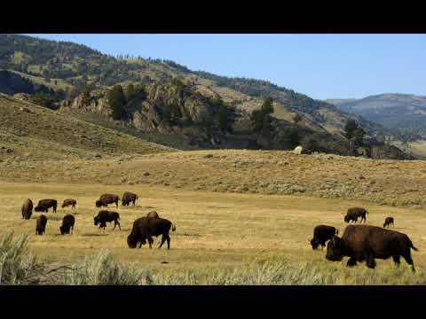Man Who Harassed Yellowstone Bison Arrested At Glacier Park